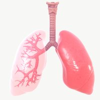 anatomy organ lungs model