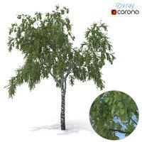 birch tree summer version model