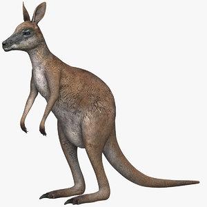 3D kangaroo marsupial animals model