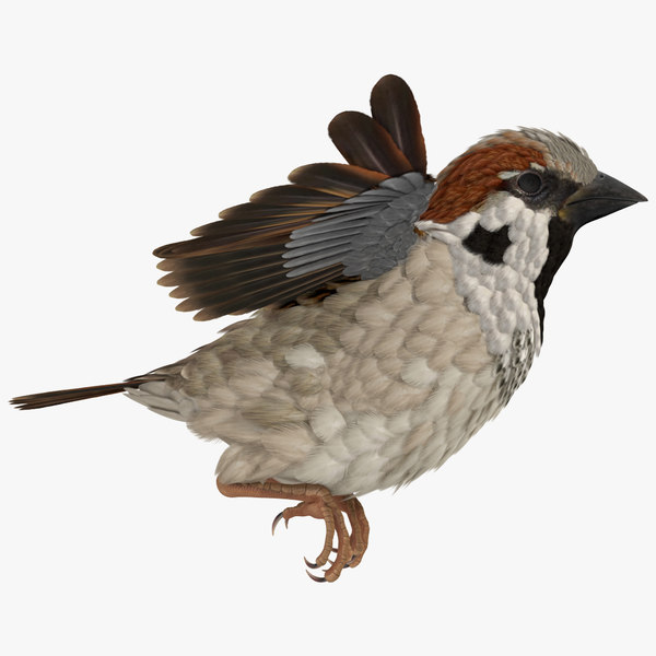 house sparrow rigged model
