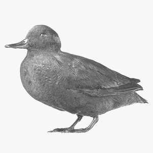 eurasian teal male 01 3D