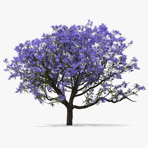 3D blooming jacaranda tree model