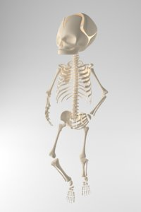 child skeleton 3D model