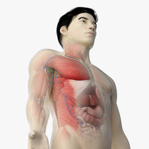 3D asian male anatomy