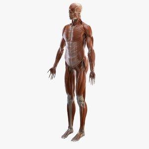 3D muscles bones