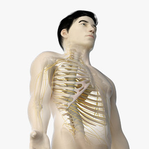 3D skin asian male skeleton