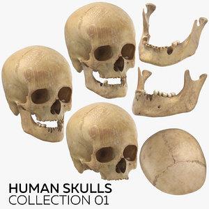 3D model human skulls 01