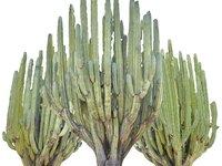 San Pedro Cactus Tree