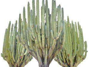 san pedro cactus tree model