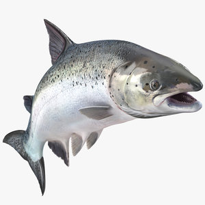 atlantic salmon fish rigged 3D model