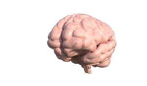 anatomy brain 3D model