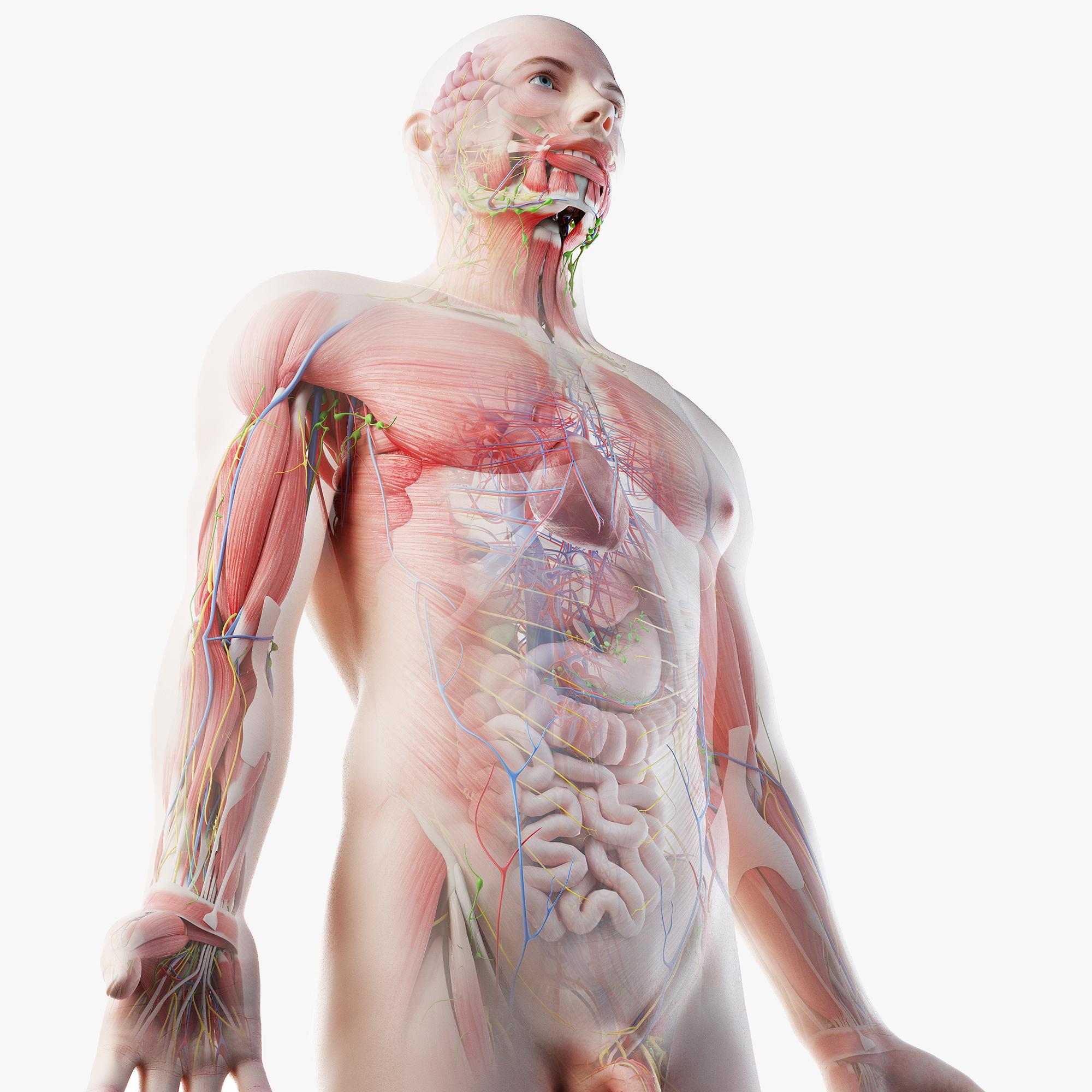 male anatomy blender rigged model
