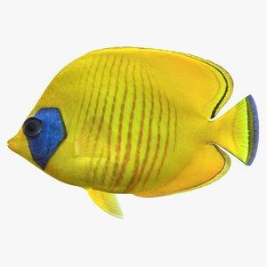bluecheek butterflyfish 3D