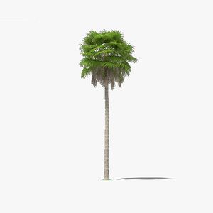 washingtonia robusta palm 3D model