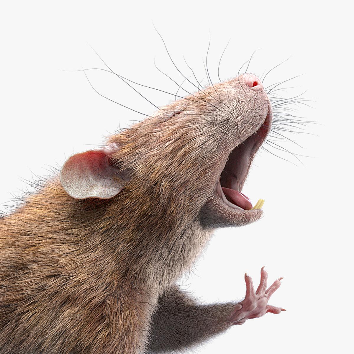 rat rigged fur animations 3D model