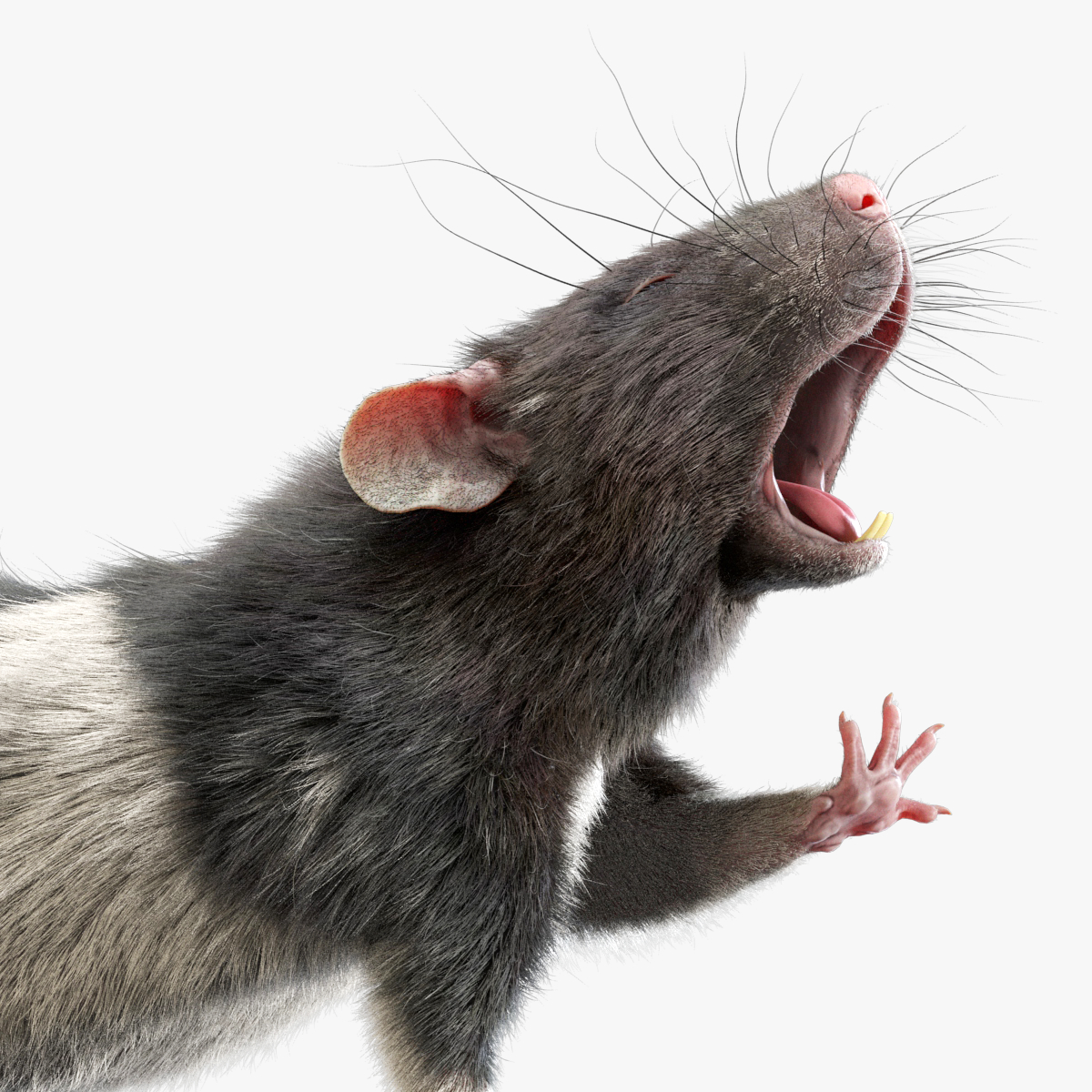 3D model rat rigged fur animations