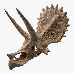 triceratops skull fossil 3D