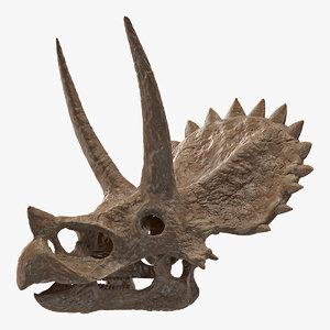 3D triceratops skull fossil