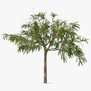 3D poinciana small tree model