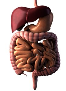 3D anatomy digestive intestines