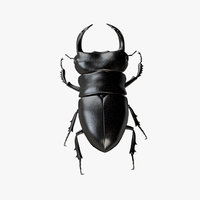 Stag Beetle 01