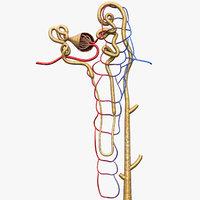 nephron glomerulus