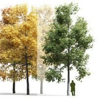 Ash-tree Fraxinus V1