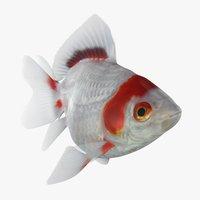 fantail goldfish animation 3D