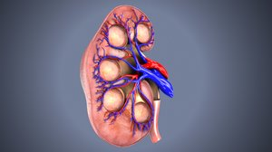 kidneys arteries 3D model