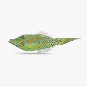 scribbled filefish 3D model