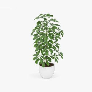 schefflera plant nature model