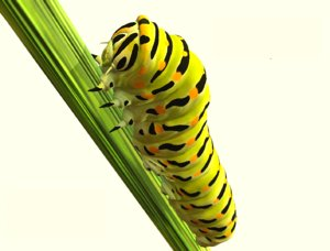 siesta swallowtail caterpillar 3D model