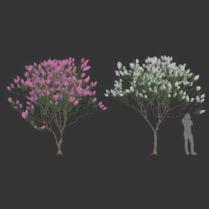 lagerstroemia crepe myrtle 3D model
