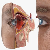 3D eye anatomy cross-section section