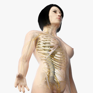 skin asian female skeleton 3D model