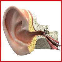 Inner Ear Section