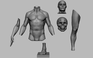 male anatomy body parts 3D model