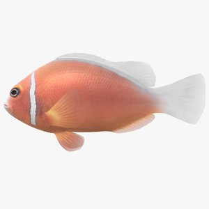 pink skunk clownfish 3D model