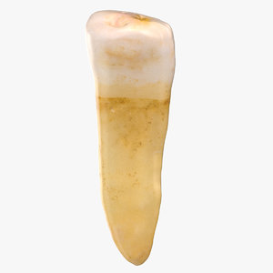 3D premolar upper jaw 01 model