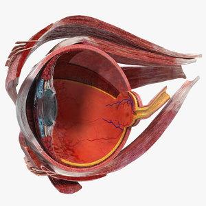 cross-section human eye right 3D model