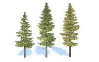 3D spruce trees