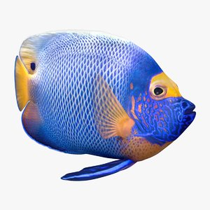 3D model blueface angelfish animation
