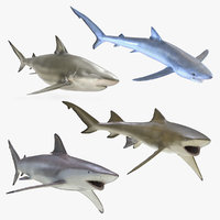 rigged sharks 2 3D model