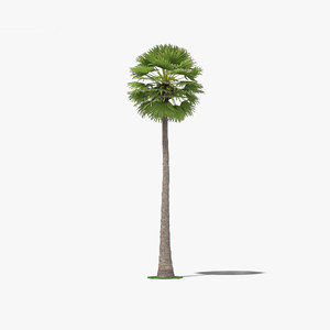 palmyra palm 3D model