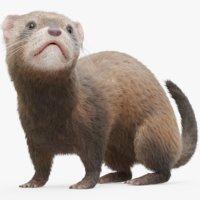 Ferret (Rigged) (Fur)