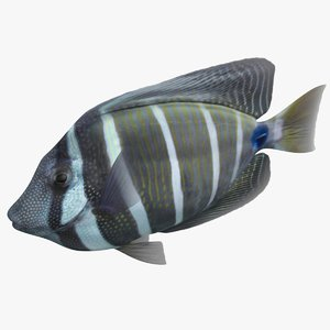 sailfin tang rigged 3D model