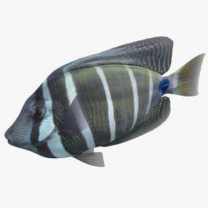 sailfin tang rigged 3D model