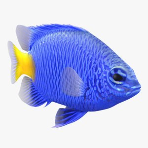yellowtail damselfish animation 3D