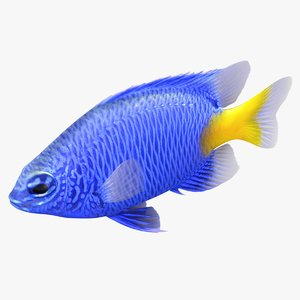 3D yellowtail damselfish rigged