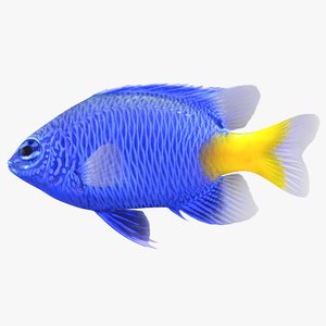 3D yellowtail damselfish model
